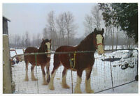 2 Clydesdale Horses