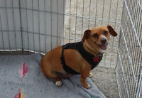 **Gorgeous Sage - CHIHUAHUA cross is available for adoption***