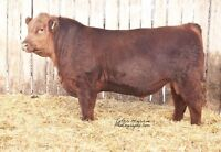 Red and Black Angus Yearling & Two Year old Bulls for sale
