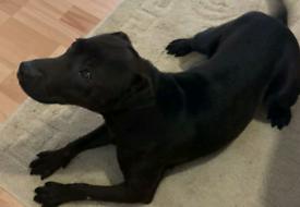 Patterdale terrier male
