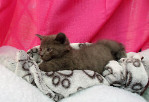Adorable Russian Blue x Ragdoll Kittens Ready Now