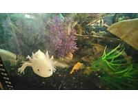 Stunning axolotl with tank and set up bargain £60