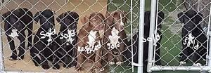 Puppies:  Cane Corso Mix Bringelly Camden Area Preview
