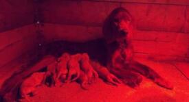 Irish Setter X Labrador