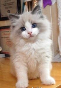 LOOKING for: a bi colour ragdoll male kitten Manly Manly Area Preview