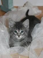 """Baby Male Cat - Domestic Short Hair: """"Spike"""""""