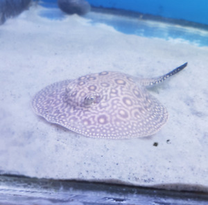 FEMALE Mini Marble Motoro x Marble Motoro Freshwater Stingray