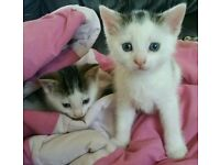 Beautiful BSH X Kittens 7 weeks old. ONLY 1 LEFT!