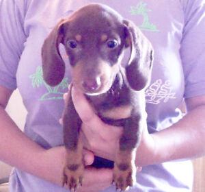 Mini Dachshund Puppies (Chocolate and Merle)