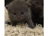 Russianblue x British short hair kittens for sale
