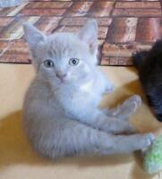 "Baby Male Cat - American Shorthair: ""TANNER"""