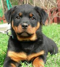 Purebred Rottweiler Puppies For Sale Melbourne Region Preview