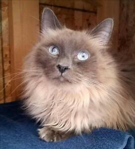"Adult Male Cat - Domestic Long Hair: ""Jack"""