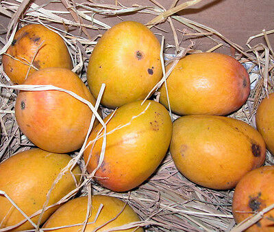 MANGO CUTTINGS SCIONS, SCION WOOD, FOR GRAFTING ONTO YOUR TREES