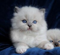 BEAUTIFUL PUREBRED RAGDOLL KITTENS  ACCEPT CREDIT CARD PAYMENT