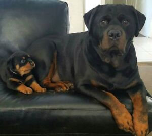 Looking for a female Rottweiler puppy