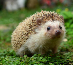 Looking for a Hedgehog to Love