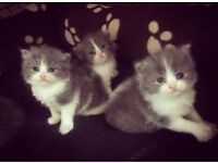 Stunning Blue/Grey and white Persian Doll Kittens