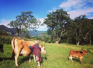 Jersey House Cow for Sale Nerang Gold Coast West Preview