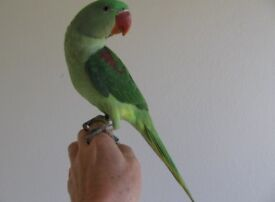 Beautiful Alexandrine parrot