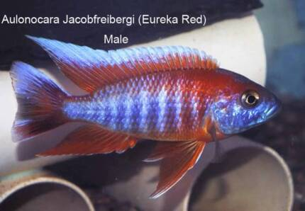 Firebird Peacocks (aka Eureka Red Peacock)....direct from breeder Ormeau Gold Coast North Preview