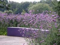 Perennial plants for sale - Verbena Bonariensis £3.50 (Avail. 8/9/10 June)