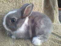 Free rabbit Grey bright blue eyes