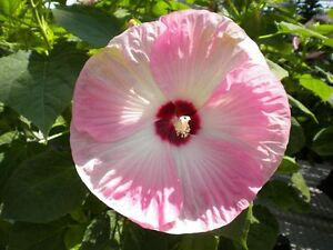 HARDY HIBISCUS! 75 Fresh Seeds Large Beautiful 6-8