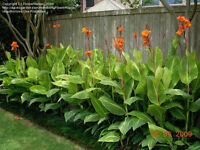 Colorful Canna Lilies