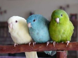 different color linnies parakeet for sale at T T PETS