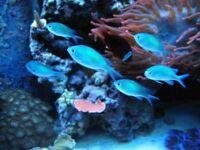 MARINE FISH / SIX GREEN CHROMIS ALL FEEDING WELL