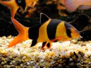 loaches, loaches and more loaches 4 different types available Flinders View Ipswich City Preview