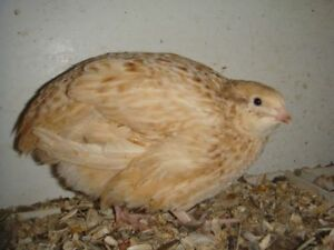 I WANT-I AM LOOKING FOR FAWN COLOURED GOLDEN QUAILS
