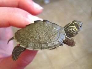 Baby Map turtles and River Cooters