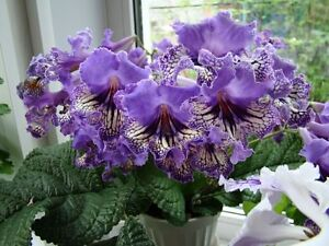Streptocarpus (Cape Primrose) house plants for sale