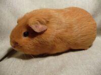 Beautiful ginger guinea pig