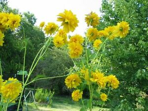 Perfect Time to Plant Your PerennialsGolden Glow Perennial Plant Peterborough Peterborough Area image 2