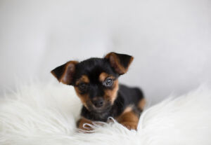 Morkie Puppy for rehoming