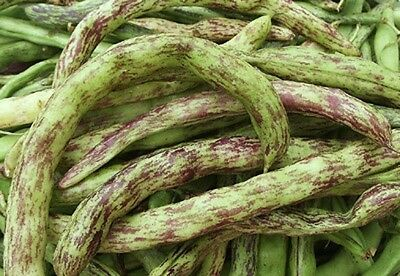 Pole Bean Heirloom Rattlesnake Preacher 200 Seeds  2 50Oz  Productive Stringless