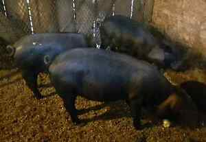 Large Black sows exposed to boar Kingston Kingston Area image 1
