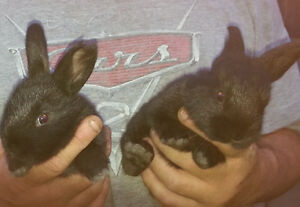 Flemish mix bunnies