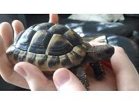 Missing Hermann's Tortoise
