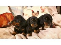 Miniature dachshund puppies for sale (Only 1 boy left now)