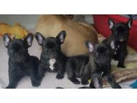 *****READY IN 5 DAYS for forever home***** Stunning French Bulldog KC reg puppies