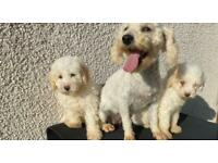 F1b Cockapoo pups ready for there new homes now