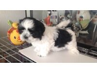 Beauitful Pedigree Shih Tzu Girl ready for her forever Home