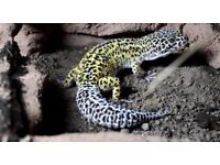 10 Month old Male Jungle Mack Snow Leopard Gecko, COLLECT TODAY