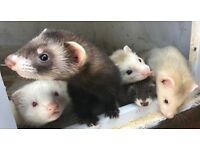 Baby Ferrets for sale