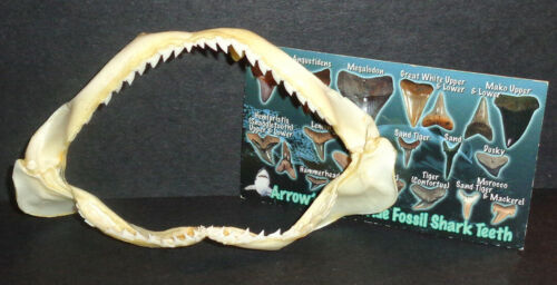 """4.5"""" Shark Jaw! Very Sharp! Comes with FREE Tooth Guide!"""