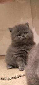 Kittens Blue